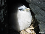 Red-Billed Tropicbird Chick, Galápagos Islands  [2005]
