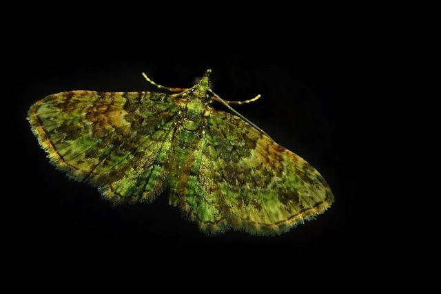 Geometridae : Larentiinae : Xanthorhoini : Epyaxa subidaria GUENÉE, 1857. Umina Beach (NSW, Australie), 1er novembre 2011. Photo : Barbara Kedzierski