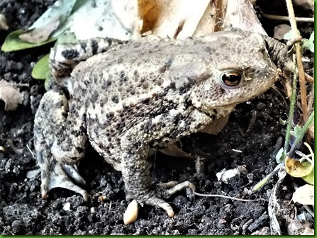 Toad Aug 2017