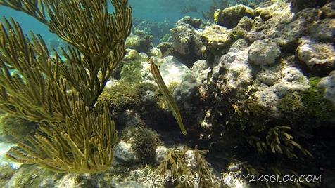 Pesce trombetta - Tobago Cays - Grenadine