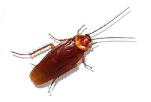 Ông Coby Schal, giáo sư chuyên nghiên cứu về côn trùng học của trường Đại học Bắc Carolina, đã có lời giải thích về hiện tượng này.