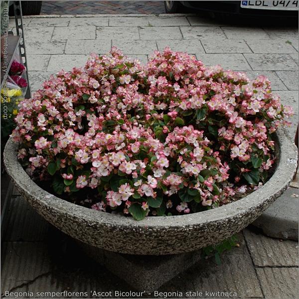 Begonia semperflorens 'Ascot Bicolour' - Begonia stale kwitnąca