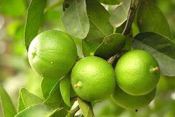 34 manfaat yang ada pada jeruk nipis