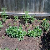 Gardening 2011 - 100_7982.JPG