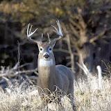 November Buck- Quivira NWR