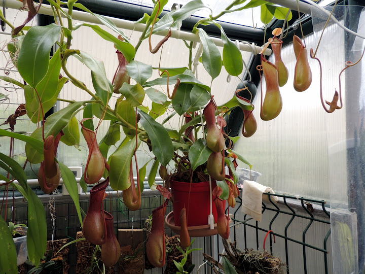 Nepenthes jardinerie DSCN2236