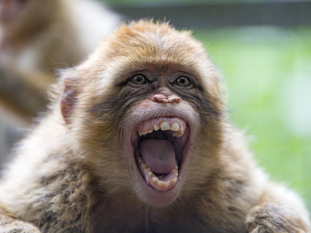 [monkey-mouth6]