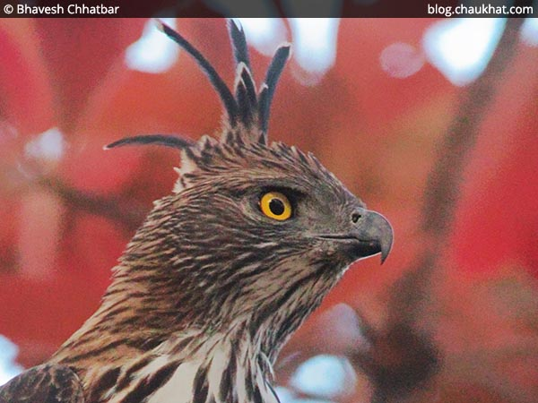 Close-up of Changeable Hawk-Eagle [Crested Hawk-Eagle]