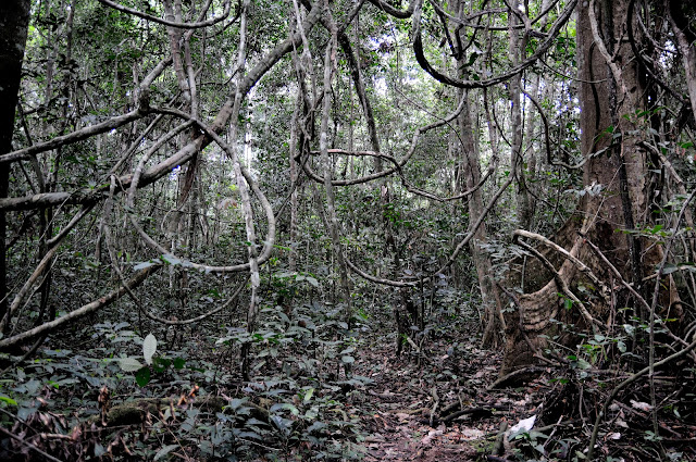 En forêt. Environs d'Ebogo (Cameroun), 23 avril 2013. Photo : Daniel Milan