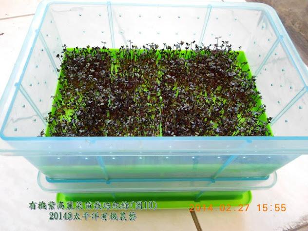 有機紫高麗芽菜苗