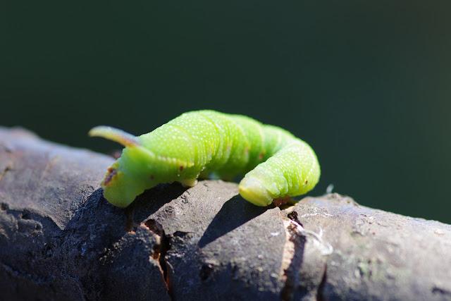 Chenille de Sphingidae (Sphinginae) : Laothoe populi (L., 1758). Les Hautes-Lisières (Rouvres, 28), 27 août 2012. Photo : J.-M. Gayman
