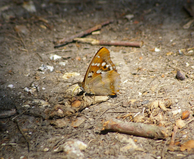 Apatura ilia DENIS & SCHIFFERMÜLLER, 1775, mâle. Hautes-Lisières, 7 juillet 2010. Photo : J.-M. Gayman
