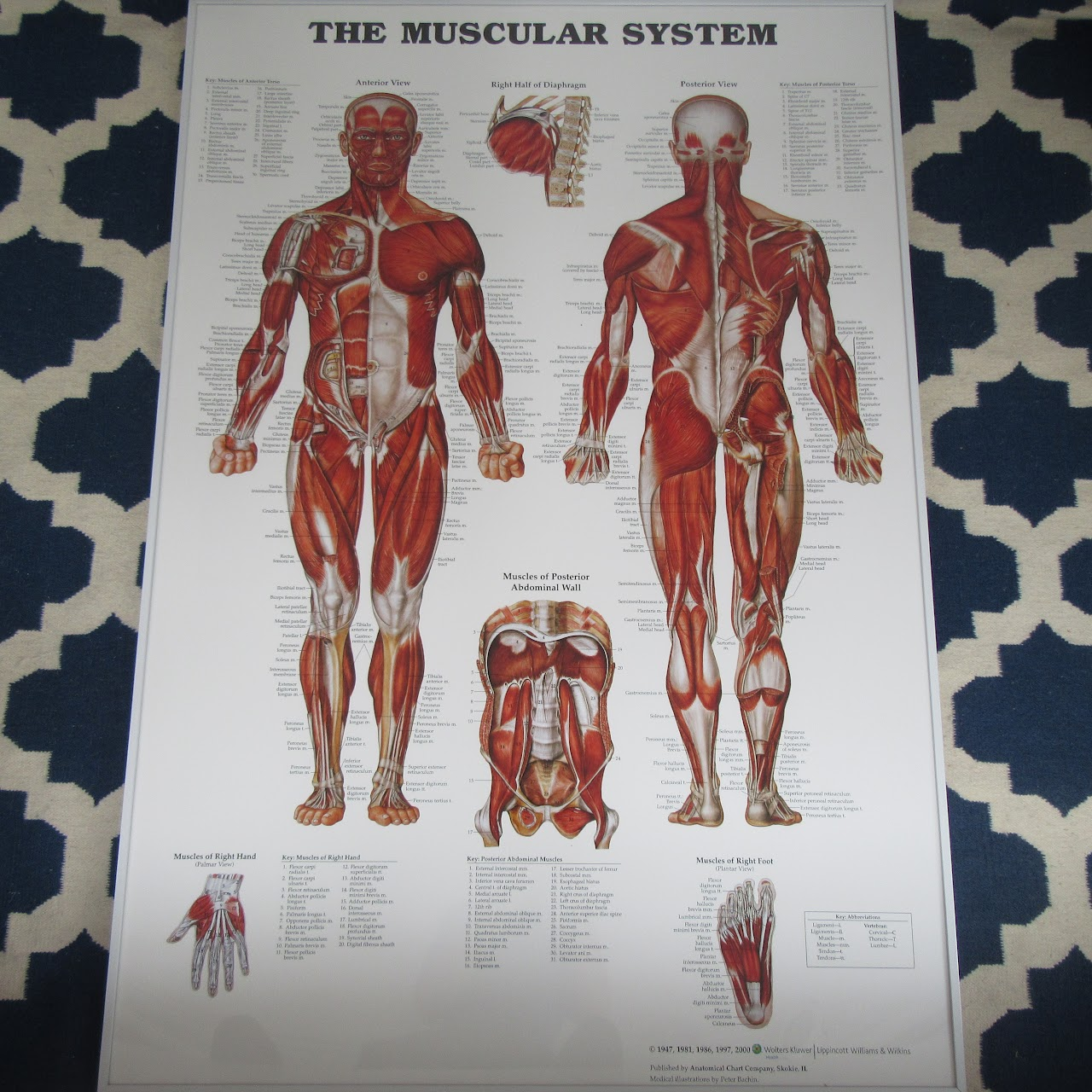 muscular system anatomical chart crian