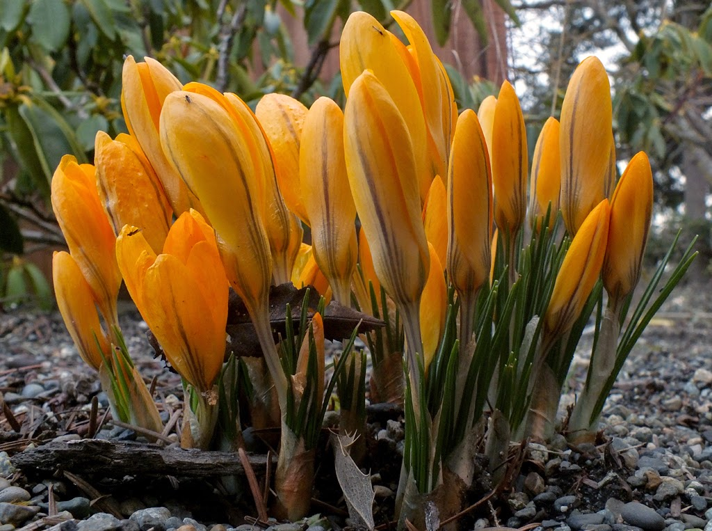 """First Crocus Clump"" by Michael Laakso -- 3d Place Digital Special A"