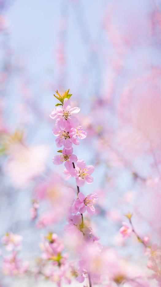 Iphone And Android Wallpapers Pink Flowers Iphone Wallpaper