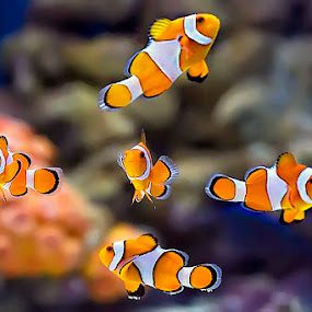 Five Clowns by Jeffry Surianto - Animals Fish ( marine, fish, clowns )