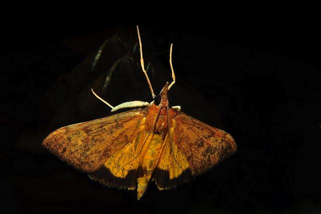 Crambidae : Pyraustinae : Uresiphita ornithopteralis GUÉNÉE, 1854. Umina Beach (NSW, Australie), 22 octobre 2011. Photo : Barbara Kedzierski