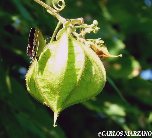 Chlorostrymon simaethis DRURY, 1773. Foto tomada en Reserva de Vicente Lopez, mayo de 2009, sobre planta de Globitos de pajonal (Cardiospermum halicacabum, Sapindaceae). Photo : Carlos Marzano
