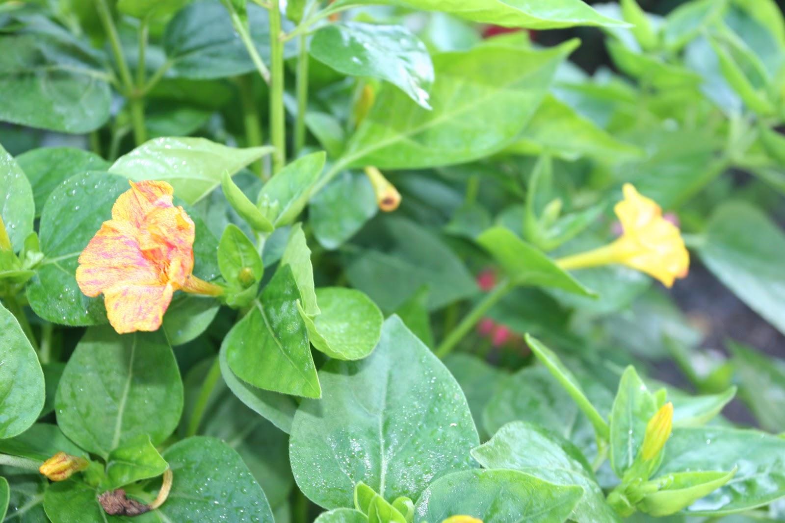 Gardening 2012 - IMG_3116.JPG