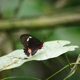 Parides childrenae latifasciata (KRÜGER, 1925), femelle. Tunda Loma (Calderon, San Lorenzo, Esmeraldas), 30 novembre 2013. Photo : J.-M. Gayman