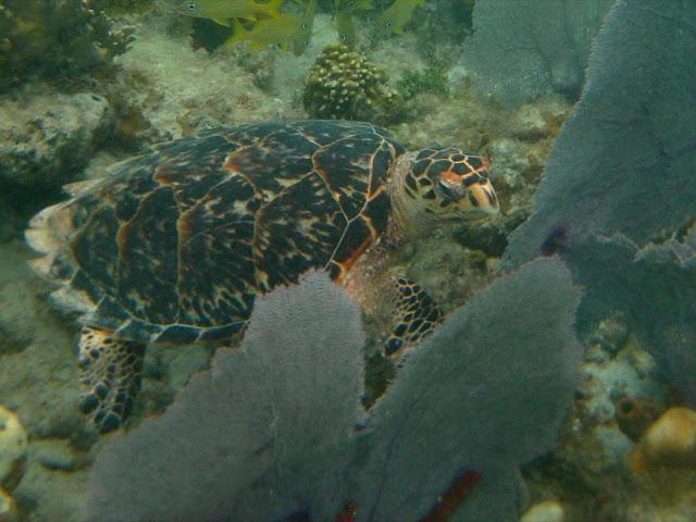 Hawksbill Turtle. St Thomas Snorkeling.