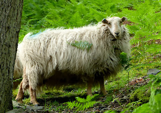 Bracken Sheep, Llangollen