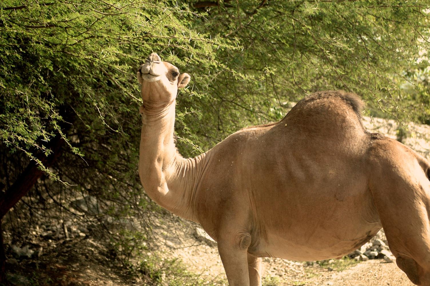 Camel @ the lake