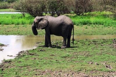 Elephant Drinking 4