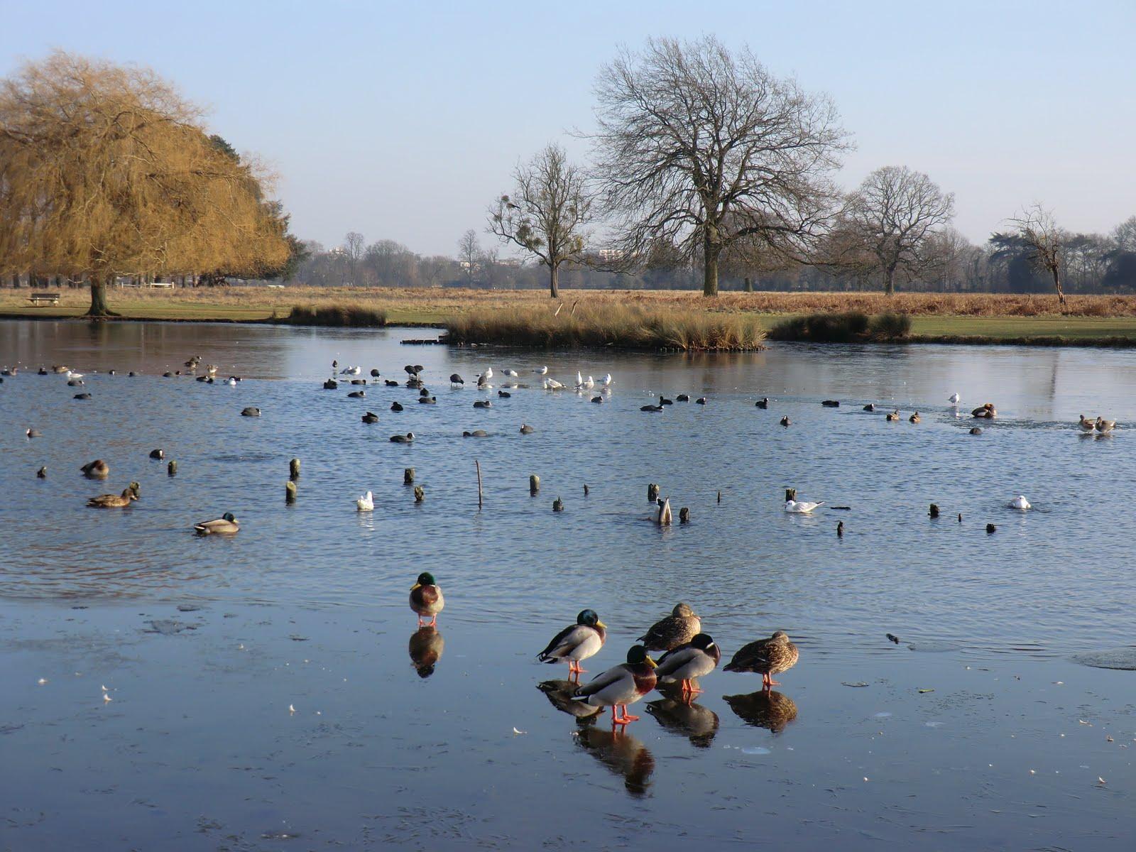 CIMG6459 Heron Pond, Bushy Park