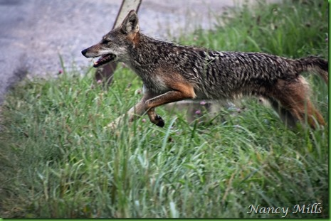 2018-07-11 20- Cades Cove Walk -  Coyote crosses back to Field on left