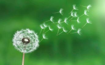 dandelion-seeds