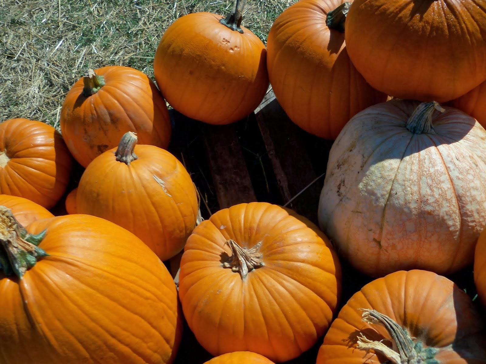 Pumpkin Patch - 115_8236.JPG