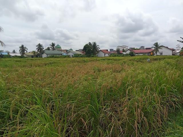 Beri Bukti Berhasilnya Program Food Estate, Petani Kahayan Kuala Panen Padi