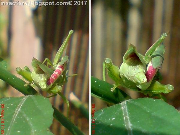 belalang Atractomorpha crenulata kawin_tampak belakang