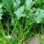 Plant de betterave sucrière