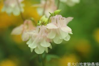 Photo: 拍攝地點: 梅峰-溫帶花卉區 拍攝植物: 耬斗菜 拍攝日期: 2015_11_13_FY
