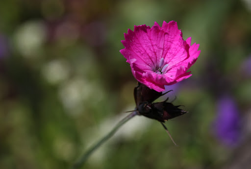 Klinček kartuziánsky (Dianthus carthusianorum)