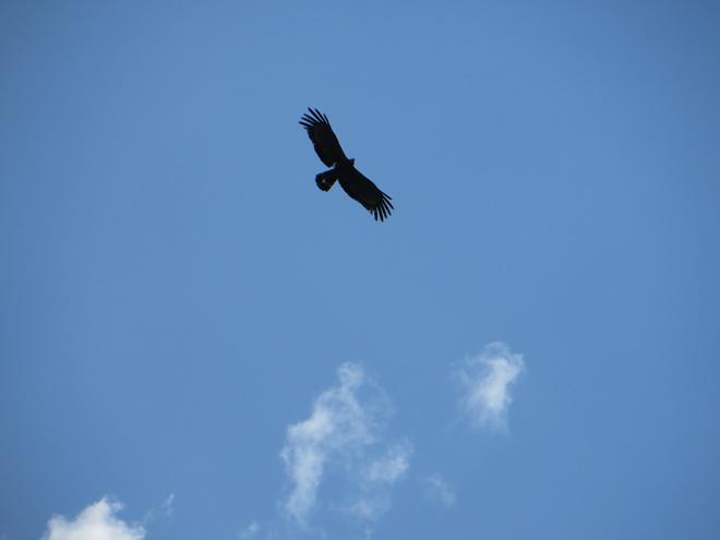 roofvogel in vlucht, Drakensberg - Zuid Afrika