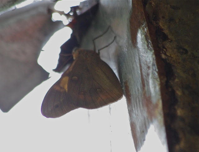 Brassolis sophorae luridus Stichel, 1902. Fundo Palmarito, 265 m (Yopal, Casanare, Colombie), 7 novembre 2015. Photo : J.-M. Gayman