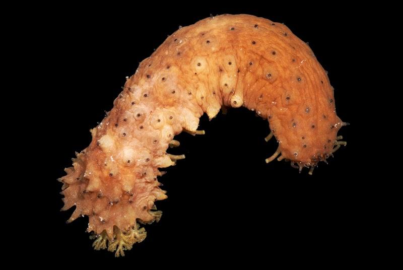 Holothuria difficilis. La Réunion.
