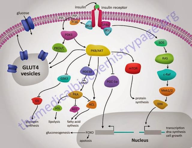 glucocorticoids vs corticosteroids usmle