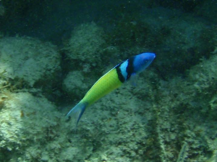 Thalassoma bifasciatum (Bluehead Wrasse) near Tranquility Bay Resort.