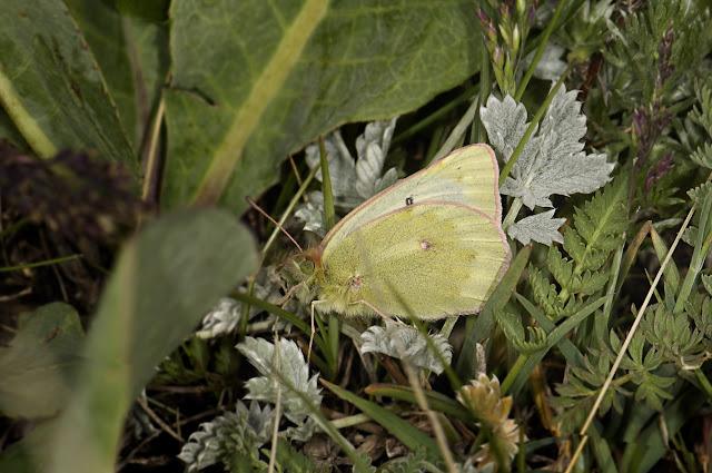 Colias cocandica cocandica ERSCHOFF, 1874. Alabel Pass, 29 juin 2006. Photo : B. Lalanne-Cassou
