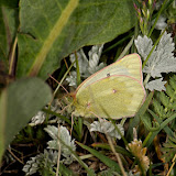 Colias cocandica cocandica ERSCHOFF, 1874. Alabel Pass, 29 juin 2006. Photo : B. Lalanne-Cassou