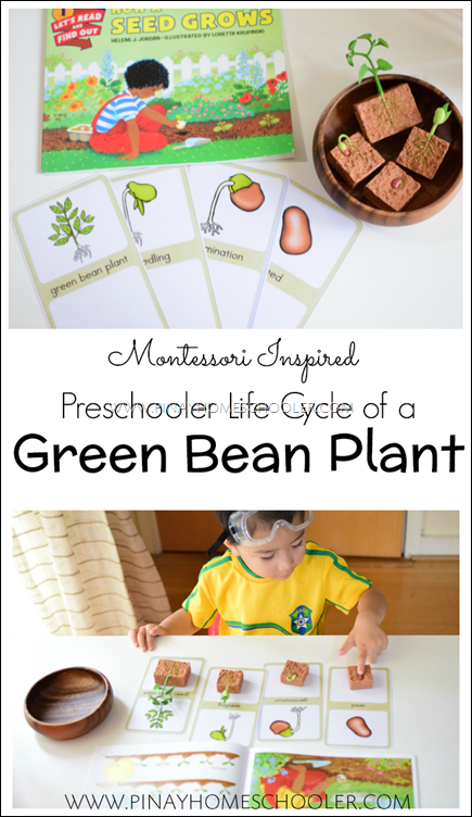 Montessori Inspired Life Cycle of a Green Bean Plant
