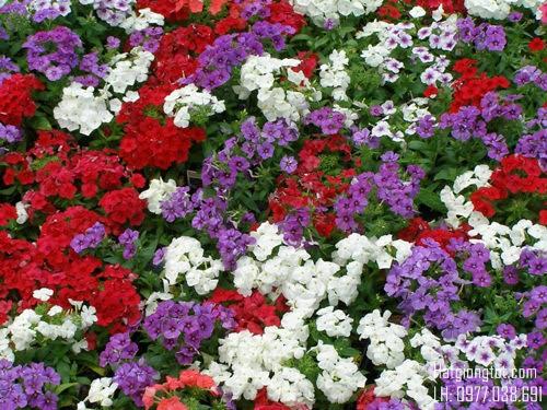 Hạt hoa thanh trúc