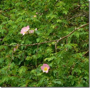 4 first dog roses
