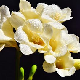 beautiful freesia flower by LADOCKi Elvira - Flowers Flower Gardens ( garden plants floral flower nature )