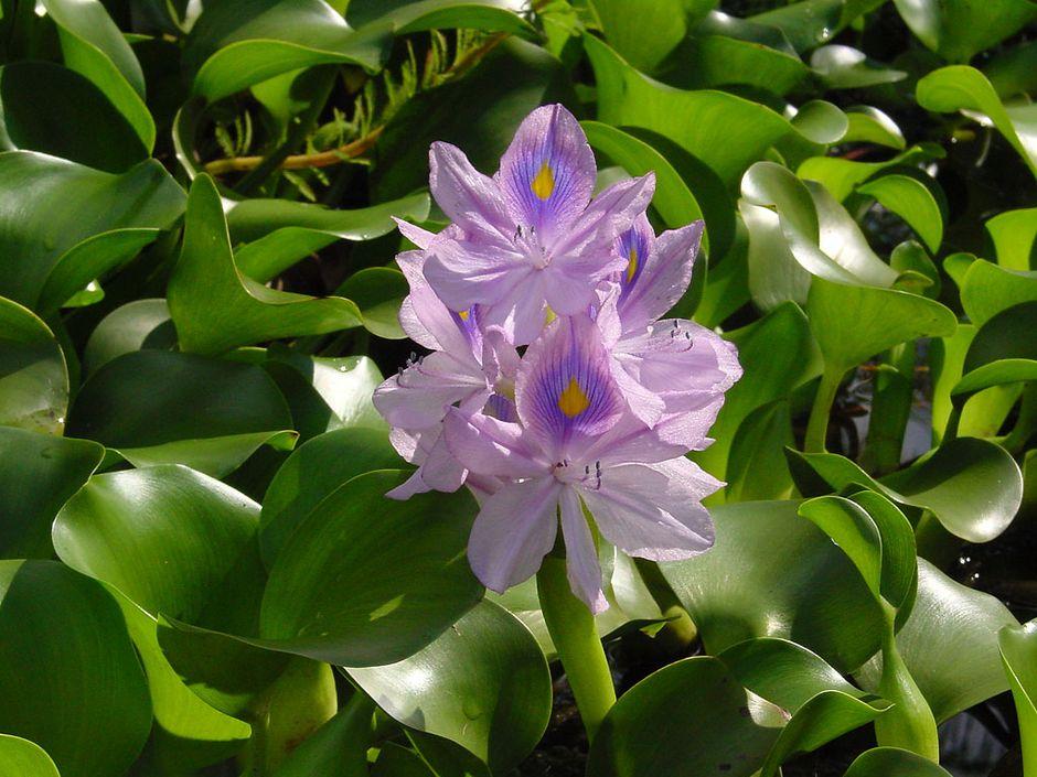 Водяной гиацинт (Эхойрния красивейшая) (Eichhornia crassipes)