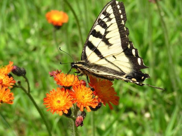 Canadian Tiger Swallowtail (Terry Carpenter)